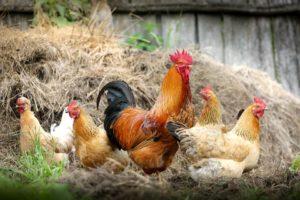 Freiland oder Bio. Infos zur Hühnerhaltung