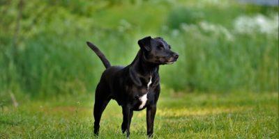 Patterdale Terrier Rasse