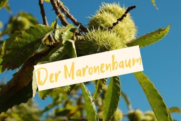 maronenbaum pflegen