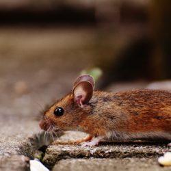Mäusegitter