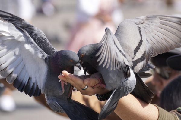 Taubenfalle