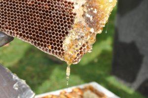 Segeberger Beute – Heimat für die Honigbiene