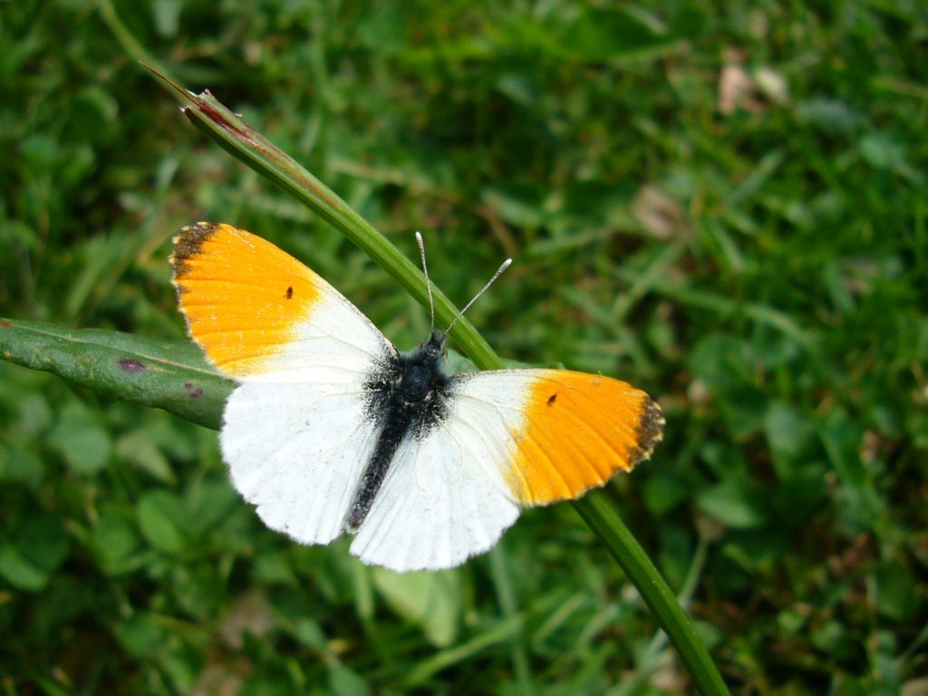 schmetterling weiß orange