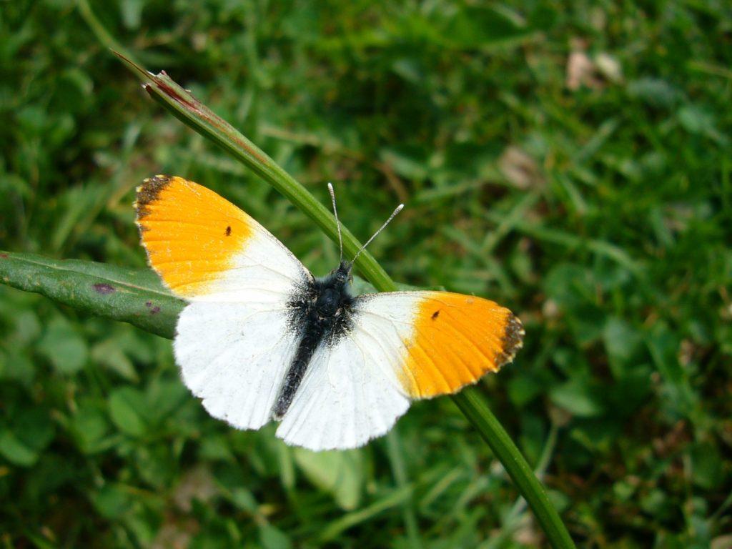 schmetterling weiß orange