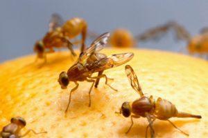 fruchtfliegenfalle selber machen