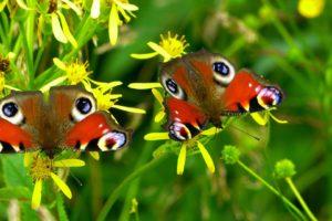 So kannst du Schmetterlinge bestimmen nach Farben