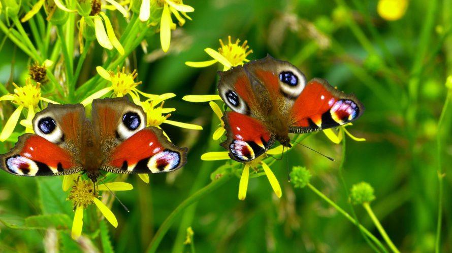 Schmetterlinge bestimmen