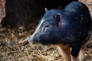 Das Minischwein – mein neues Haustier?