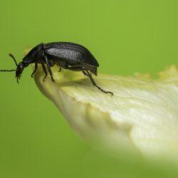 Kleine schwarze Käfer