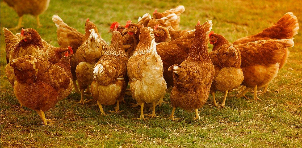 Hühnermist als Dünger