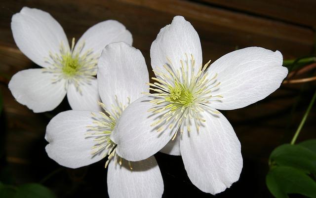 Blühende Kletterpflanzen winterhart mehrjährig schnellwachsend