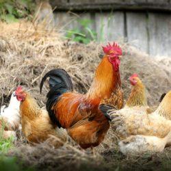 Kieselgur für Hühner