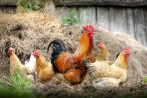 Kieselgur für Hühner – bei Milbenbefall hilfreich