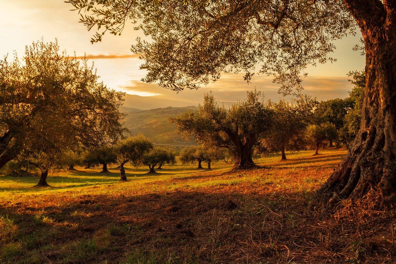 Oliven Rechen
