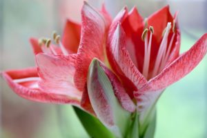 amaryllis pflege