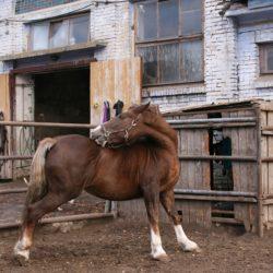 schermaschine für pferde