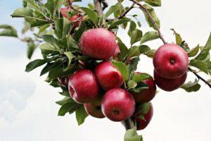 Apfelbaum schneiden! Die Schritte für den perfekten Schnitt!