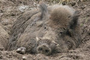 Wildschweine vertreiben. Wildschwein im Garten sorgt für Ärger!