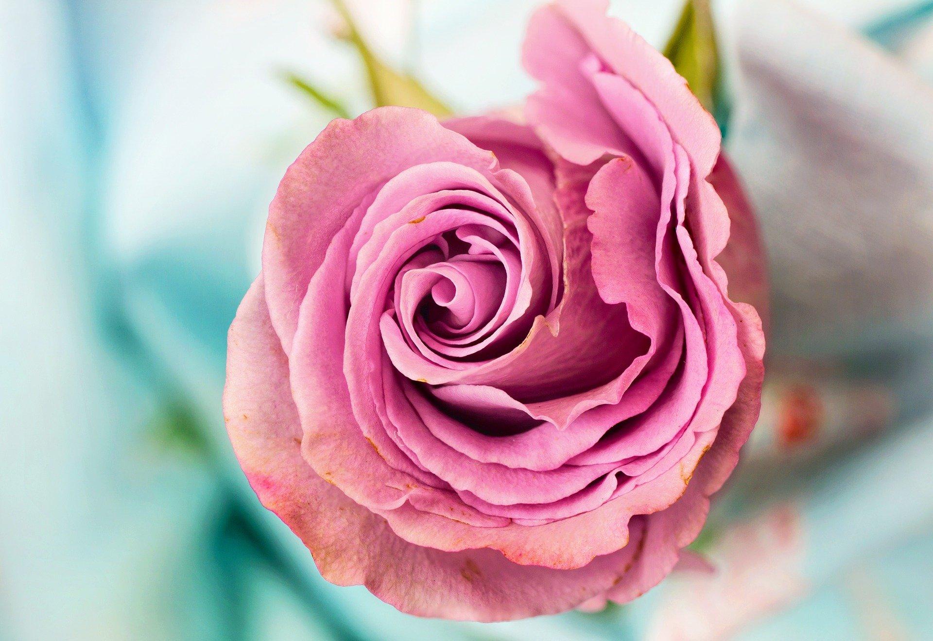 rose verschenken